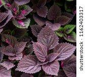flame nettle leaves decoration... | Shutterstock . vector #1162403317