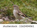 blanford's snowfinch ... | Shutterstock . vector #1162404061