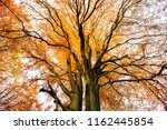 old beech tree from below  full ... | Shutterstock . vector #1162445854