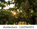 grape plantation in august in...   Shutterstock . vector #1162564351