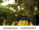 grape plantation in august in...   Shutterstock . vector #1162564354
