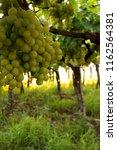 grape plantation in august in...   Shutterstock . vector #1162564381