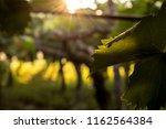 grape plantation in august in...   Shutterstock . vector #1162564384
