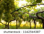 grape plantation in august in...   Shutterstock . vector #1162564387