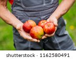 farmers hands with freshly... | Shutterstock . vector #1162580491