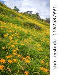 the orange daylily tawny... | Shutterstock . vector #1162587991