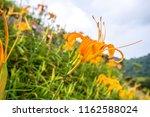 the orange daylily tawny... | Shutterstock . vector #1162588024