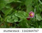 small blooming zinnia closeup | Shutterstock . vector #1162664767