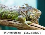 green iguana on branch | Shutterstock . vector #1162688077