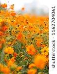 cosmos sulphureus cav | Shutterstock . vector #1162704061