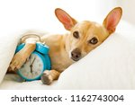 chihuahua dog in bed resting or ... | Shutterstock . vector #1162743004