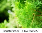 nature scene of closeup pine... | Shutterstock . vector #1162750927