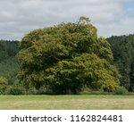 ancient beech tree  fagus... | Shutterstock . vector #1162824481