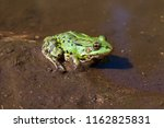 Black Spotted Green Frog ...