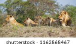 lion family coming from kruger... | Shutterstock . vector #1162868467