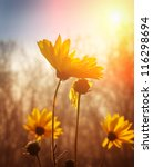 Stock photo flowers at sunrise 116298694