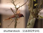 spice finch bird lonchura... | Shutterstock . vector #1163029141