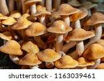Orange Forest Nameko Mushrooms