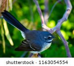 dainty agile little grey... | Shutterstock . vector #1163054554