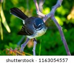 dainty agile little grey... | Shutterstock . vector #1163054557