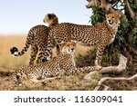 Cheetah Mother And Two Older...