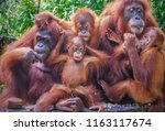 Stock photo funny portrait of a group of orangutans including two mothers with their young offspring enjoying 1163117674
