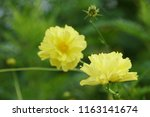 yellow cosmos or cosmos... | Shutterstock . vector #1163141674