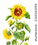 watercolor sunflower. vintage... | Shutterstock . vector #1163161054