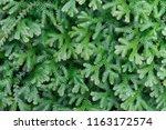 spike moss and light for... | Shutterstock . vector #1163172574