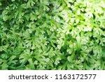 spike moss and light for... | Shutterstock . vector #1163172577