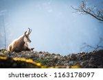 chamois  rupicapra rupicapra ... | Shutterstock . vector #1163178097