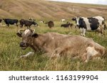 herd of cows on a meadow. | Shutterstock . vector #1163199904