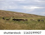 herd of cows on a meadow. | Shutterstock . vector #1163199907