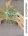 tillandsia schiedeana airplant... | Shutterstock . vector #1163284384