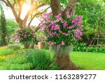 Flowering plant garden, Pink Dendrobium hybrid orchid, Spanish moss climbing on the trees on fresh green grass lawn and purple, yellow vivid color annual shrubs in the park - stock photo