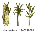 sugar cane plants of collection ... | Shutterstock .eps vector #1163290081