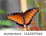 Male Queen Butterfly With Wing...