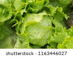 Ripe green crisp head lettuce ...
