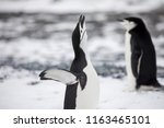 some penguins in the arctic... | Shutterstock . vector #1163465101