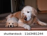 Stock photo golden retriever puppy snuggling next to adult golden retriever senior and puppy week old puppy 1163481244