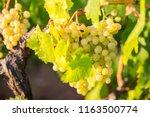 italian bio grape in the... | Shutterstock . vector #1163500774