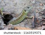 male sand lizard  lacerta... | Shutterstock . vector #1163519371