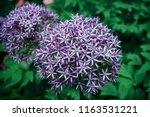 allium. flowers of decorative...