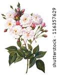 flower illustration | Shutterstock . vector #116357629
