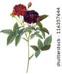flower illustration | Shutterstock . vector #116357644