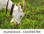 female goat grazing on green... | Shutterstock . vector #1163583784