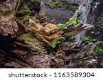Bracket Fungi  Or Shelf Fungi...