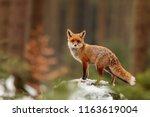 Red Fox  Vulpes Vulpes  Posing...