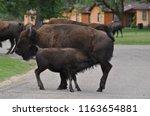 North American Bison  Bison...