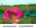 far eastern lotus v. komarova....   Shutterstock . vector #1163658034